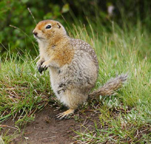 Arctic Ground-squirrel