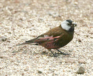 Grey-crowned (Hepburn's) Rosy-finch