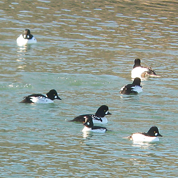 Barrow's and Common Goldeneyes