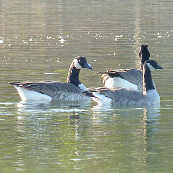 Richardson's Cackling Goose (and Canada Goose)