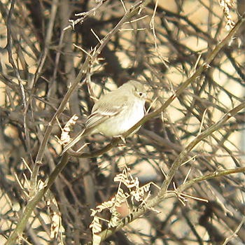 Grey Flycatcher