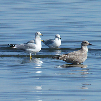 Thayer's Gull and Ring-billed Gulls