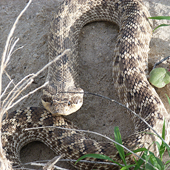 Mexican Hognose