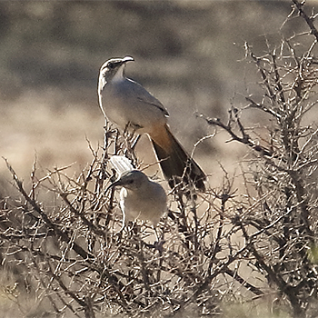 LeConte's Thrashers