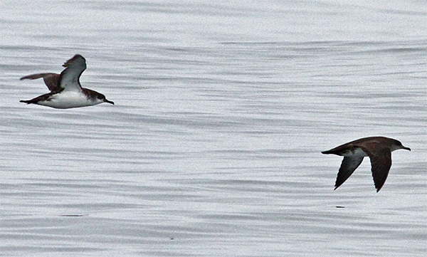Manx and Black-vented Shearwater