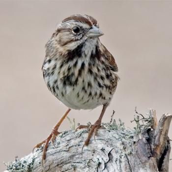 California Song Sparrow