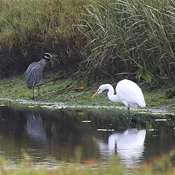 Yellow-crowned Night-heron and Great Egret