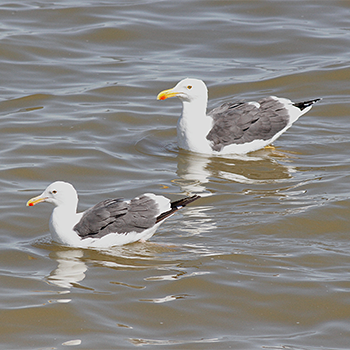 Western Gull and Yellow-footed Gull