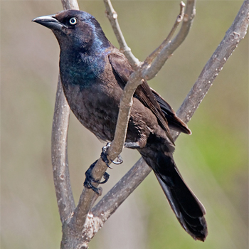 common grackle. Common Grackle
