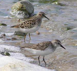 Least (behind) and Semi-palmated Sandpipers
