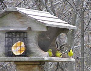 Female Purple Finch and American Goldfinches