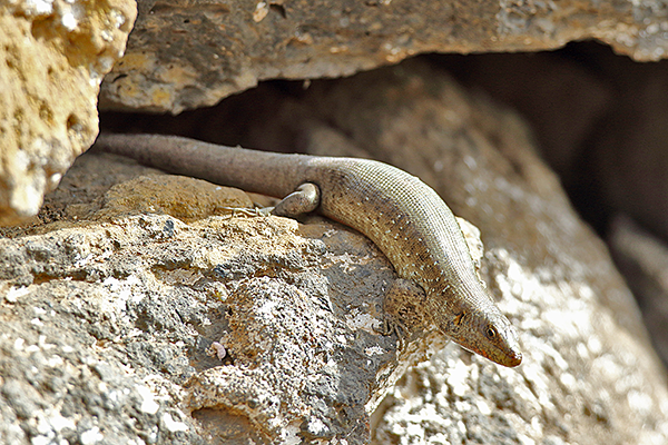 Vaillant's Skink