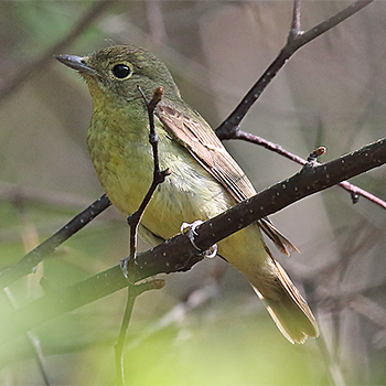 Narcissus (Chinese) Flycatcher