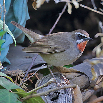 Birdfinders Birdwatching Holidays China Beijing