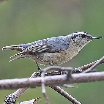 Snowy-browed Nuthatch