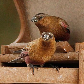 Birdfinders Birdwatching Holidays Colorado Grouse
