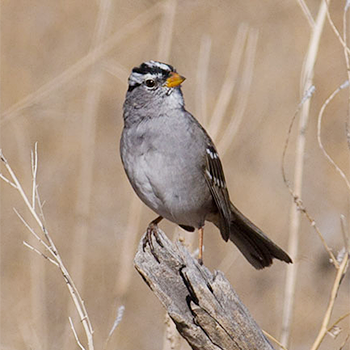 Birdfinders – Birdwatching Holidays – Colorado – Grouse and Rosy-finches