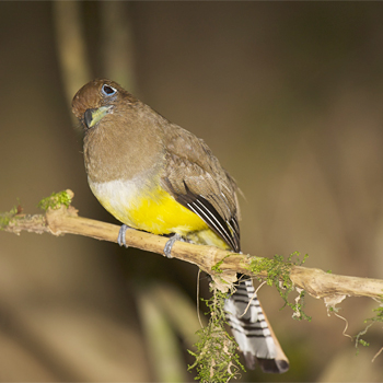 Black-throated Trogon (female)