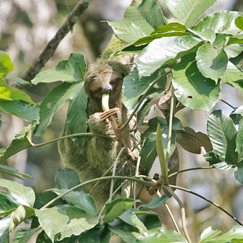 Brown-backed Three-toed Sloth