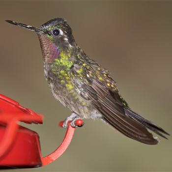Purple-throated Mountain-gem (male)