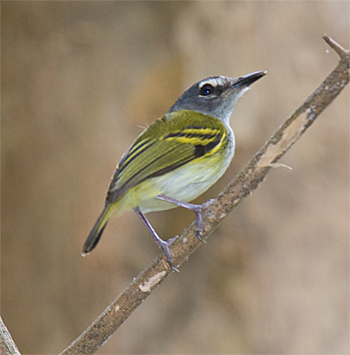 Slaty-headed Tody-flycatcher