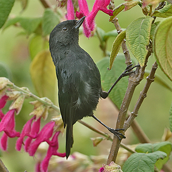 Black Flowerpiercer