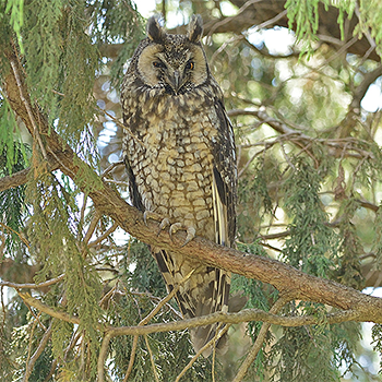 African Long-eared Owl