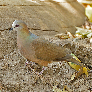 Lemon Dove