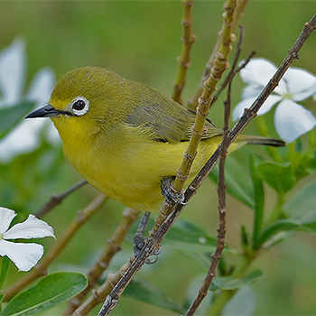White-breasted White-eye (<em>jubaensis</em>)