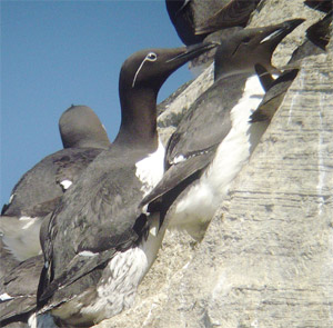 Common and Thick-billed Murres