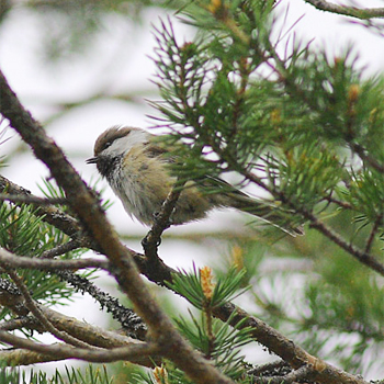 Grey-headed Chickadee (Siberian Tit)