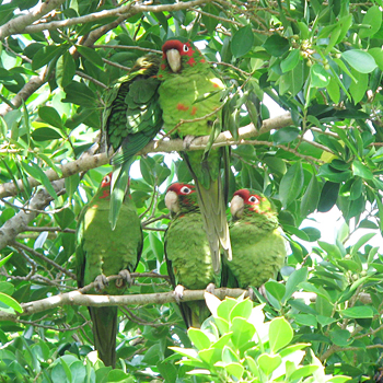 Mitred Parakeets