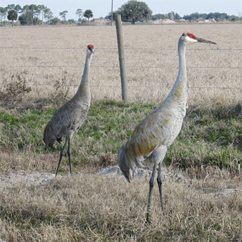 "hindu singles in sandhill Sandhill cranes make huge minnesota comeback ""this is like a singles' bar the state could count no more than 40 sandhill cranes living in the."