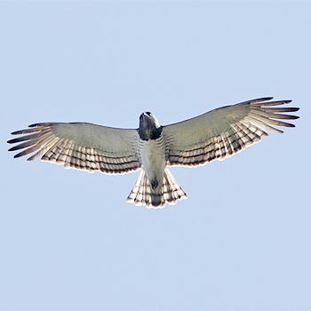 Beaudouins snake eagle - photo#11