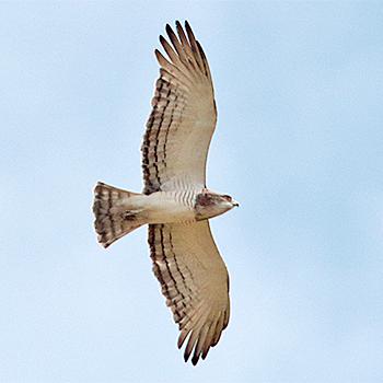 Beaudouins snake eagle - photo#16