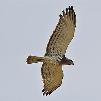 Beaudouins snake eagle - photo#14
