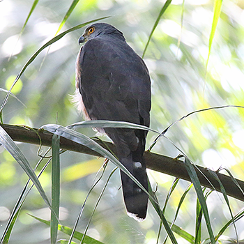 Red-chested Goshawk