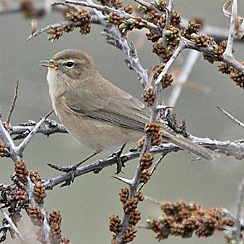 Birdfinders – Birdwatching Holidays – Georgia Mountain Chiffchaff