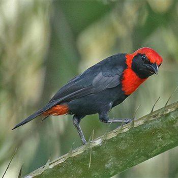 Red-vented Malimbe
