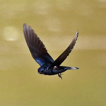 White-throated Blue Swallow