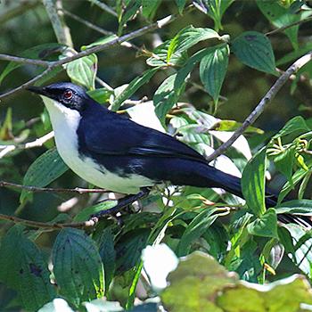 Orange Breasted Sparrow Birdfinders – Birdwa...