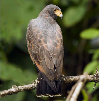 'Rufous Crab-hawk