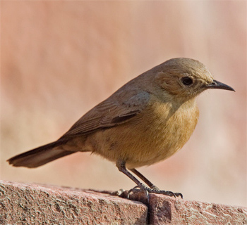 Brown Rock Chat
