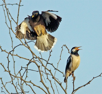 Common Myna and Asian Pied Starling