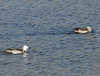 Cotton Pygmy Geese