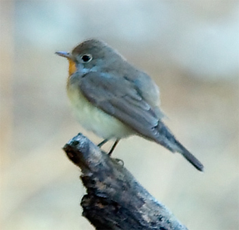 Taiga (Red-throated) Flycatcher<
