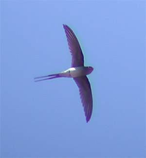 Crested Tree-swift