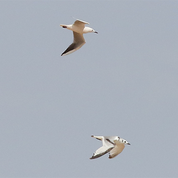 Black-legged Kittiwake and Slender-billed Gull
