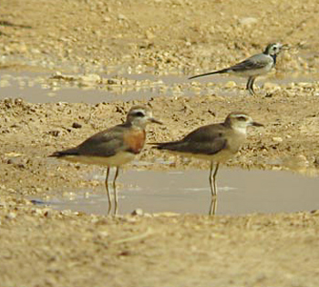 Caspian Plovers (and White Wagtail)