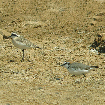 Kittlitz's and Kentish Plovers